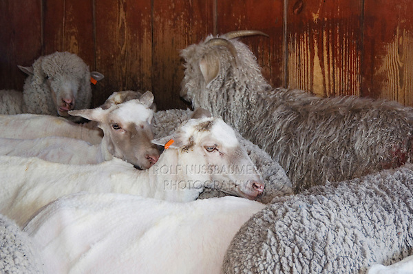 Domestic Sheep, Sheep shearing, sheared and unsheared sheep, Hill Country, Texas, USA, April 2007