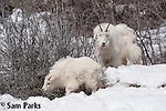 Mountain goat nanny and kid snow. Snake River Canyon, Wyoming.