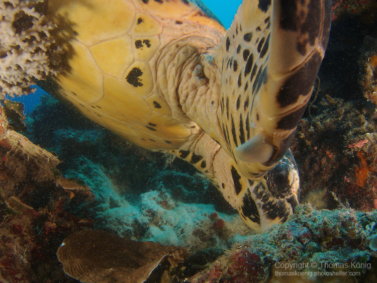Ulong Channel, Palau -- Sea turtle foraging the reef for food.