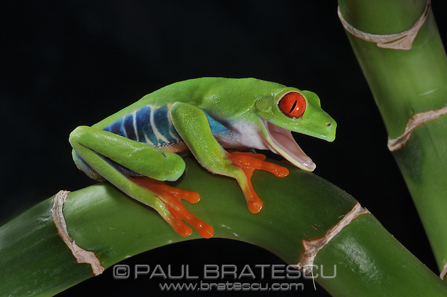 Red-eye Tree Frog (Agalychnis callidryas) The red eye tree frog is found throughout central America and northern south America