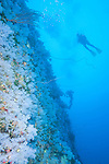 The Great White Wall, Rainbow Reef, Somosomo Strait, Fiji; looking up at a scuba diver hovering over the large expanse of white soft corals on the sheer wall face