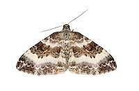 70.062 (1739)<br /> Wood Carpet - Epirrhoe rivata