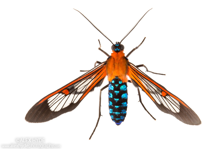 Clearwing Moth - Cosmosoma teuthras photographed on a white background in mobile field studio. Cordillera de Talamanca mountain range, Caribbean Slopes, Costa Rica. May.