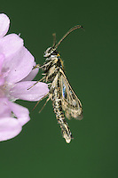 Thrift Clearwing - Synansphecia muscaeformis