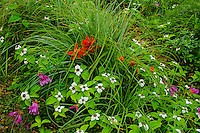 Bunchberry with penstemon and paintbrush in southern Cascade Mountains of Washington.  Summer