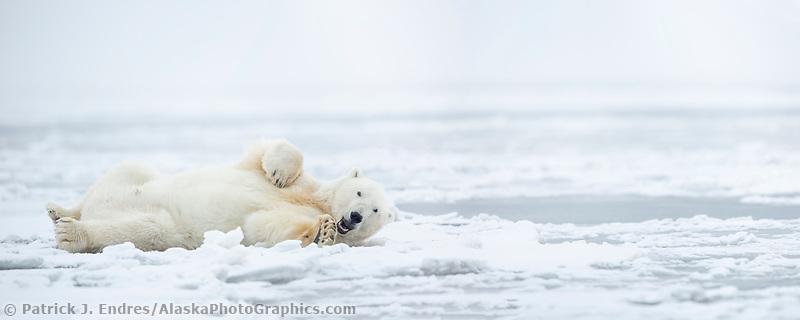 Polar bear on the Beaufort Sea Ice in Arctic, Alaska.