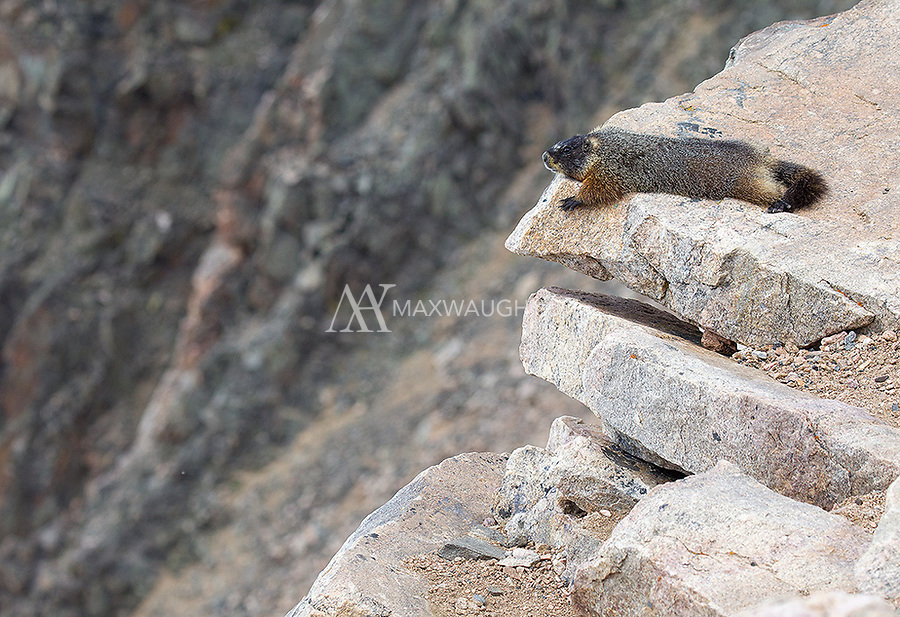 A lazy marmot in the Beartooth.