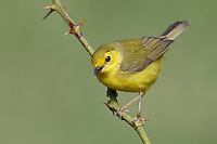 Hooded Warbler - Wilsonia citrina - female