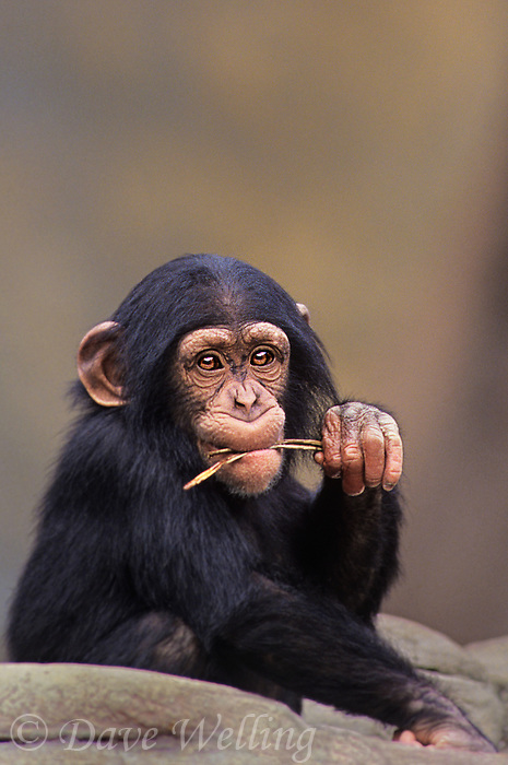 616503020 a juvenile chimpanzee pan troglodytes chews on a plant shoot in its enclosure at a zoo species is highly endangered in the wild and native to the african subcontinent
