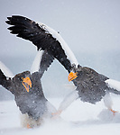 Japan, Hokkaido, Steller's sea eagles fighting over fish