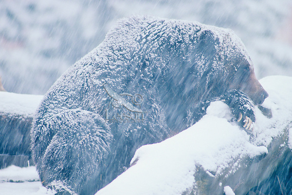 Grizzly bear in late fall snowstorm sleeping