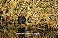 00858-00302 (SD) Common Moorhen (Gallinula chloropus) South Padre Island   TX