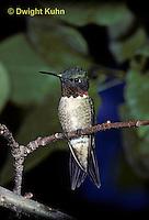 HU12-005x  Ruby-throated Hummingbird - male resting on branch -  Archilochus colubris