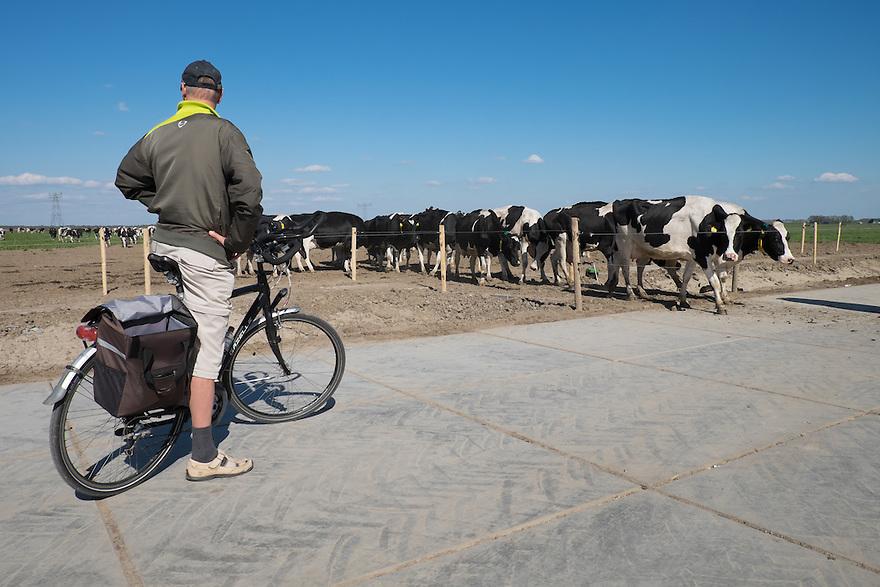 Nederland, Zwartsluis, 2 mei 2015<br /> Natuurboerderij Weidevol. Biologisch melkveebedrijf. <br /> Toeschouwers kijken hoe de koeien naar binnenlopen om gemolken te worden. <br /> <br /> Foto: Michiel Wijnbergh