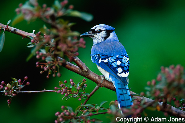 Blue Jay, Cyaoncitta cristata