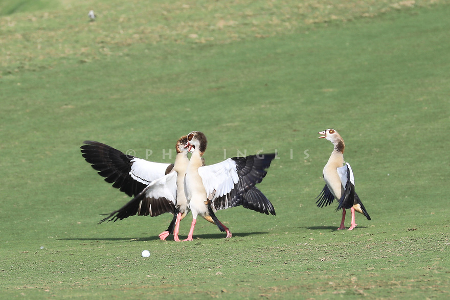 Argumentative canada geese during the first round of the Fatima Bint Mubarak Ladies Open played at Saadiyat Beach Golf Club, Abu Dhabi, UAE. 10/01/2019<br /> Picture: Golffile | Phil Inglis<br /> <br /> All photo usage must carry mandatory copyright credit (© Golffile | Phil Inglis)