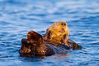 northern sea otter, Enhydra lutris kenyoni, aka Alaska sea otter, yawning, at sunset, Straits of Juan de Fuca, Vancouver Island, British Columbia, Canada, Pacific Ocean
