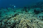 Cabbage corals (Turbinaria reniformis)