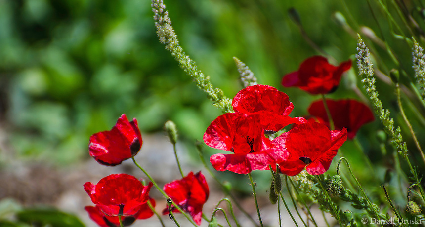 Landscape Photograph. Beautiful translucent red Poppy flowers line the ancient ruins of Ephesus in Kusadasi, Turkey.