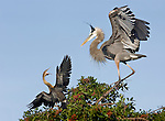 Great Blue Heron chases Anhinga away from nest  at Venice Rookery, Venice, FL.