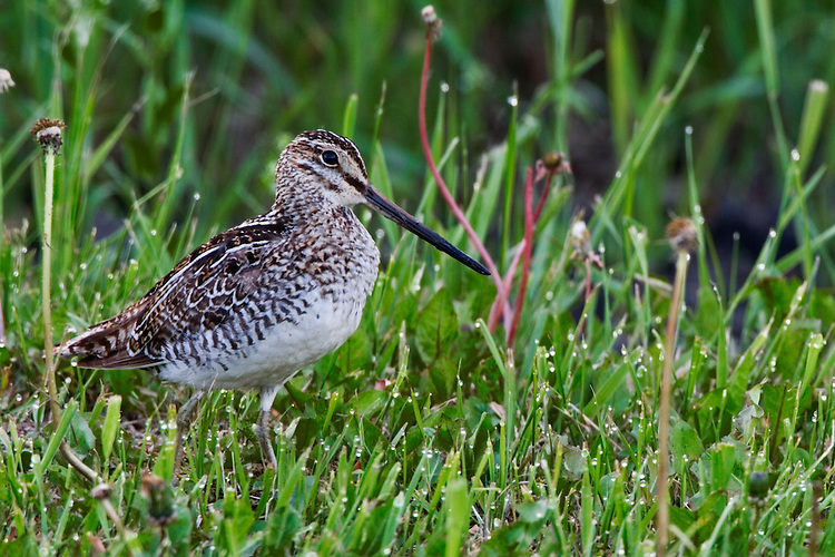 Common Snipe looking for a meal in grass covered in dew