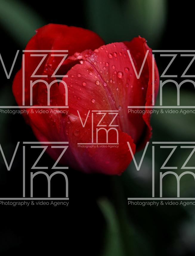Los tulipanes se cultivaron como plantas ornamentales desde principios del siglo XI  en Anatolia . Desde esta región e Irán provendrían los bulbos tomados por el toledano Ibn Massal para su cultivo en el Al-Ándalus . Con la Edad Moderna , su cultivo se extendió hacia los países del norte de Europa, convirtiéndose en la flor símbolo de los Países Bajos  y parte inseparable de su paisaje. / Tulips are grown as ornamental plants from the early eleventh century in Anatolia. From this region and Iran they come from the bulbs taken by the Toledo Ibn Massal for cultivation in the Al-Andalus. In the modern age, its cultivation spread to the countries of northern Europe, becoming the symbol of the Netherlands and inseparable part of the landscape flower. / Photo: VizzorImage / Luis Ramirez / Staff.