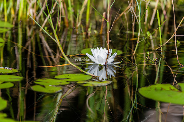 A water lily and lily pads along the canal leading from Santo Tomás in the heart of the Zapata Swamp. Cuba.