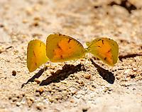 Trio of sleepy orange butterflies mudding