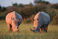Two adult Rhinos grazing peacefully.