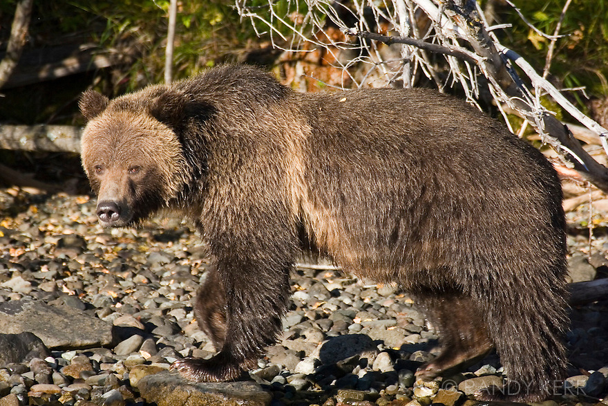 Grizzly walking on Chilko Lake