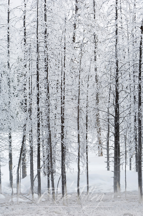 Hoarfrost on Burned Trees, Yellowstone NP, WY, USA