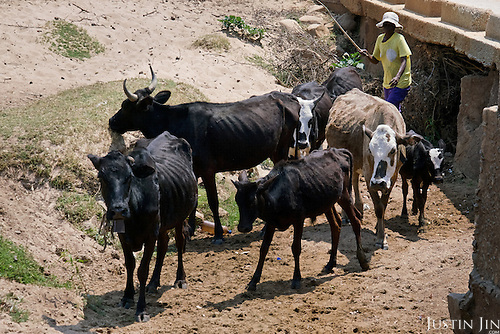 A woman walks with her cattle in drought-hit Masking Province, Zimbabwe.  <br /> <br /> Drought in southern Africa is devastating communities in Zimbabwe, leaving 4 million people urgently in need of food aid. The government declared a state of emergency,. <br /> <br /> Here in Masvingo Province, the country's hardest hit province, vegetation has wilted, livestock is dying, and people are at serious risk of famine. <br /> <br /> Pictures shot by Justin Jin