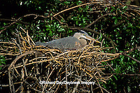 00684-01210 Great Blue Heron (Ardea herodias) at nest    FL