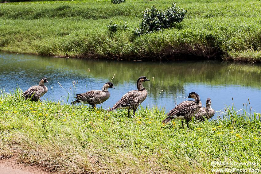 Nene geese along Hanalei River, Kauai