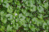 Bunchberry, ground dogwood or dwarf dogwood (Cornus unalaschkensis) among Two-leaved Solomon's Seal, Snakeberry or False Lily of the Valley (Maianthemum dilatatum).  Pacific Northwest.