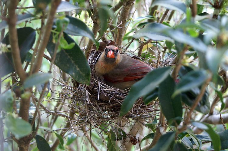 Female cardinal sitting on nest.