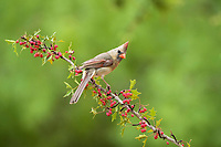 northern cardinal, Cardinalis cardinalis, adult female perched on Agarita with berries, Berberis trifoliolata, Rio Grande Valley, South Texas, Texas, USA, North America