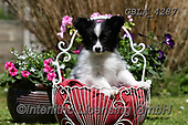 Bob, ANIMALS, REALISTISCHE TIERE, ANIMALES REALISTICOS, dogs, photos+++++,GBLA4287,#a#, EVERYDAY