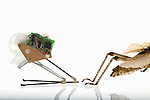A jumping robot inspired by a Grasshopper that is able to jump over a hurdle 138 centimeters or 27.6 times his height of 5 centimeters. Compare the robot with the hind jumping legs of a real Grasshopper.