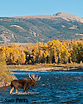 Bull moose crossing the Gros Ventre River during the rut. Grand Teton National Park, Wyoming.