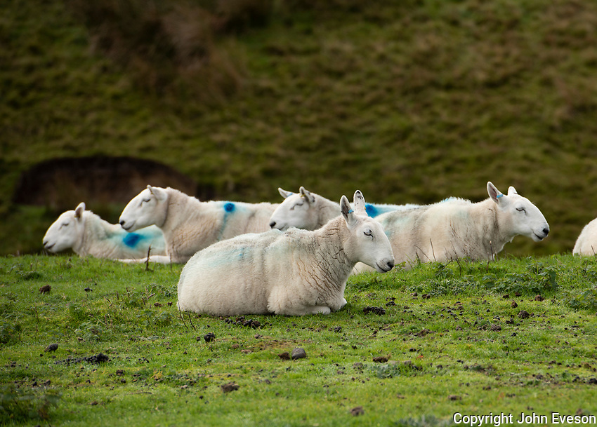 Sleeping Cheviot ewes near Lancaster, Lancashire.