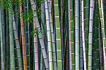 Giant bamboo, Kyoto, Japan