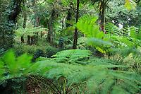 Domaine du Rayol en novembre : le jardin de Nouvelle-Zélande, dans le vallon le long du ruisseau pousse des fougères arborescentes (Dicksonia et Dyckia sp)