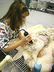 Veterinarian and technician prepping pet dog for abdominal surgery