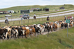 In the early morning hours of a Sunday morning, dedicated cowboys and cowgirls gather on the open prairie north of Cheyenne, Wyoming to kick-off to the annual Cheyenne Frontier Days Rodeo.  After a hearty breakfast at the chuckwagon, volunteers saddle up and the traditional cattle drive gets underway. Roughly 500 steers that will be used for the rodeo performances begin making the five mile journey to famous Frontier Park, where they will spend the next 14 days. The route is lined with locals from Cheyenne, as well as tourists from across the country that make the annual trek to relive the rich history of the American West.