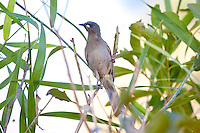 White-Gaped Honeyeater, Katherine, NT, Australia