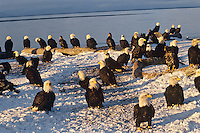 Gathering of Bald Eagles along Kachemak Bay near Homer, Alaska.  March.
