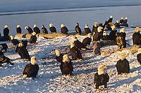Gathering of Bald Eagles along Kachemak Bay near Homer, Alaska.  March.
