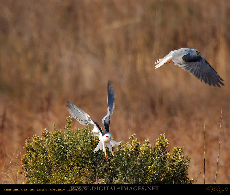 White-Tailed Kites, Bush Takeoff, Sepulveda Wildlife Refuge, Southern California