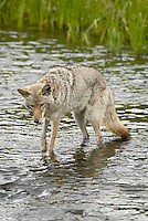 Wild Coyote (Canis latrans) hunting for spawning cutthroat trout.  Western U.S., June.